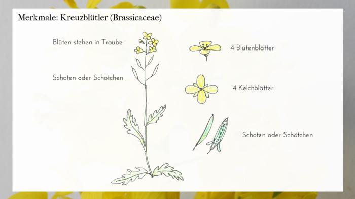 KreuzblFolie-Merkmale-1.png